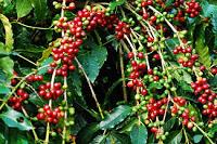 結實纍纍的咖啡樹