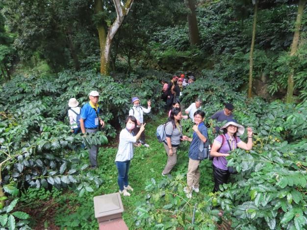遊客漫步森林下的咖啡園,採咖啡
