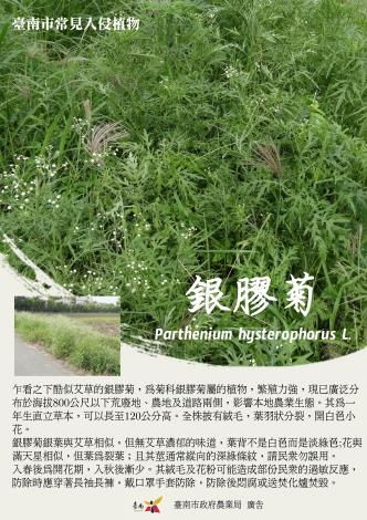 銀膠菊(農業局)