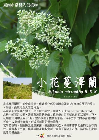 小花蔓澤蘭(農業局)