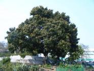 樹齡七十的老芒果樹
