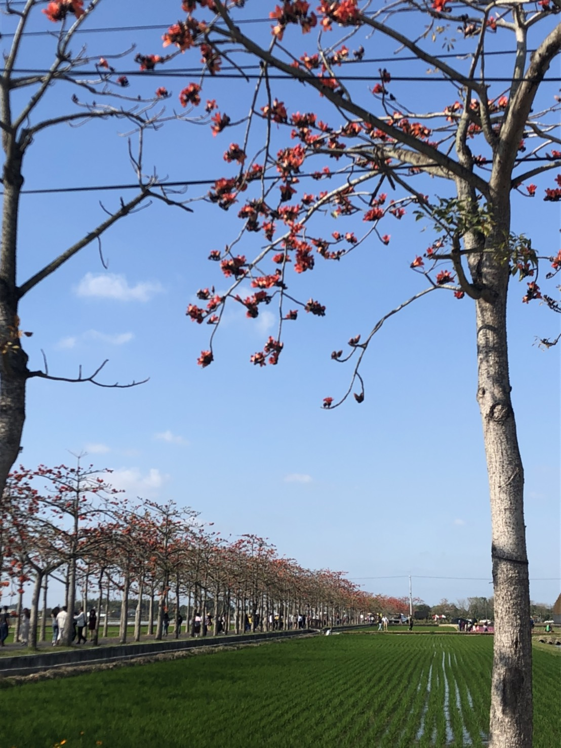 2月26日木棉花道開花狀況照片圖2